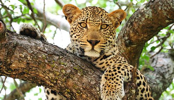balule-game-reserve-leopard